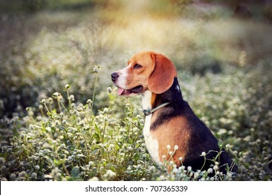 A beagle dog is  sitting in the wild flowers  field.