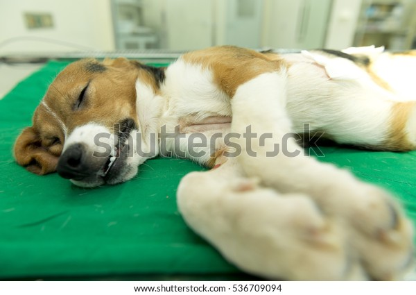 A beagle dog is sleep recovering on the operating table after the severe operation