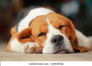 beagle dog Sleeping and take some rest, dog sleeping and dreaming