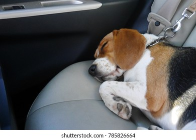 beagle dog sleeps in car with safety on collar