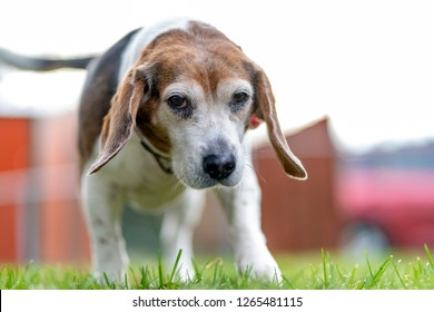 Beagle Dog Sniffing Grass
