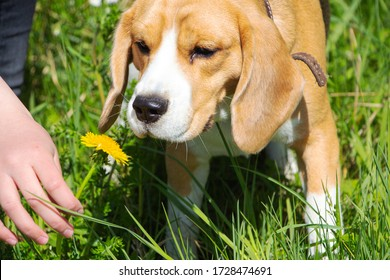 a Beagle dog sniffs a dandelion in a clearing.