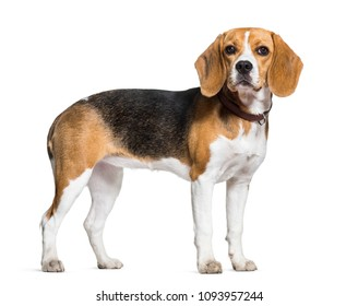 Beagle dog standing against white background
