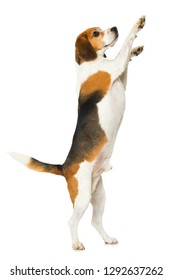 Beagle dog is standing on hind legs isolated on white background