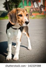 Beagle dog stands