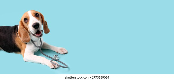 beagle dog with stethoscope as veterinarian on blue background in studio With copy space.