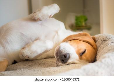 Beagle dog tired sleeps on a couch
