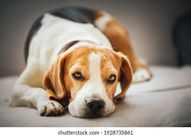 Beagle dog tired sleeps on a cozy sofa. Tricolor Purebred Background