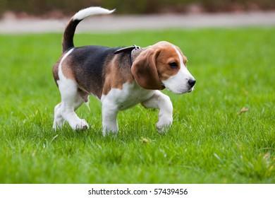 Beagle dog walking on the green grass