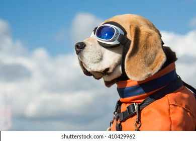 Beagle dog wearing blue flying glasses or goggles, sitting in a bicycle basket on a sunny day
