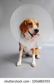 beagle dog wearing an cone collar for protection.
