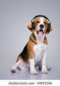 Beagle dog wearing headphones.