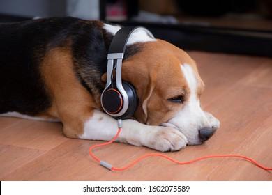 Beagle dog wearing headphones  on wooden floor