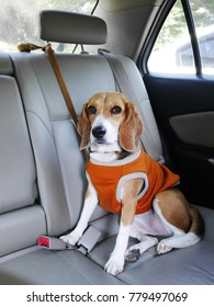 beagle dog wears cloth sits in a car for a trip
