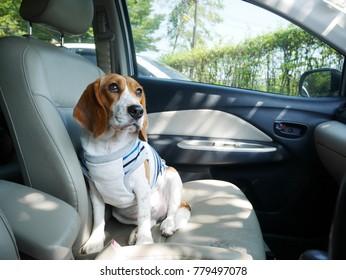 Adlerhund trägt Kleidung in einem Auto für eine Reise