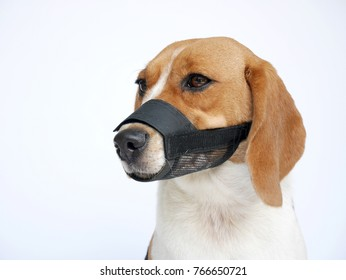 beagle dog wears muzzle sitting isolated on white background