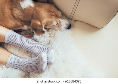Beagle dog and woman relax together on comfortable sofa