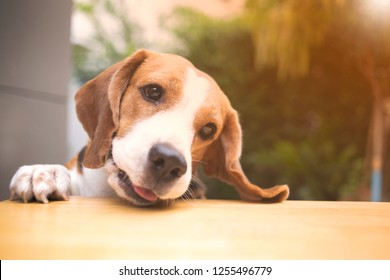 Beagle dogs are looking with suspicion