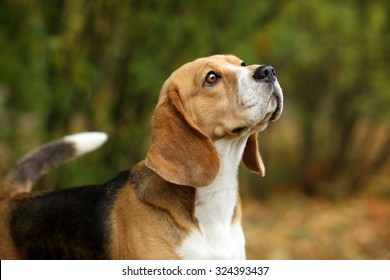 Beagle dogs, portrait