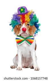 Beagle dressed as clown with a sad clown expression