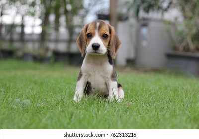 Beagle early in the morning at sunrise,Seven weeks old cute little beagle puppy,cute dog lying on green grass, Portrait cute dog,small cute beagle puppy dog looking up.copy space for text