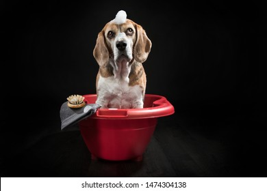 Beagle Girl having a Bath