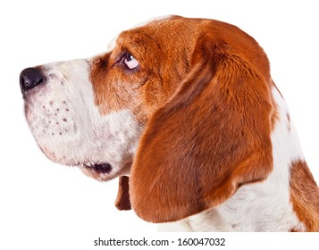 beagle head isolated on white background