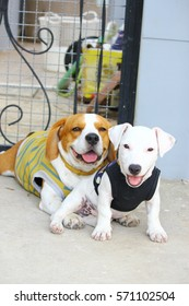 Beagle and Jack Russell so smile
