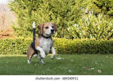 beagle jumping outdoor
