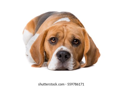 beagle laying in front of a white background