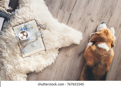 Beagle lies on the laminat floor near the sheepskin carpet with book and mug of hot chocolate