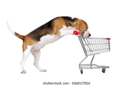 Beagle looking into the shopping cart isolated on white