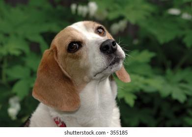 Beagle looking soulful