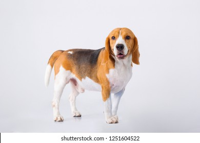 Beagle Lovely Puppy Dog stand on white background