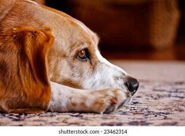 beagle lying down