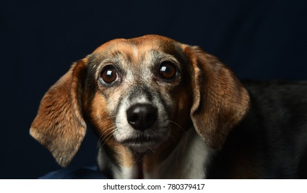 Beagle mix shot against dark background