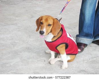 beagle on the beach