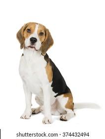 Beagle on white background