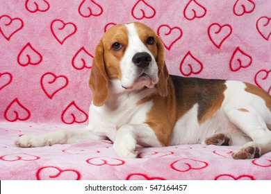Beagle portrait on the pink background