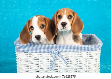 Beagle Puss : Find your new companion at nextdaypets.com.