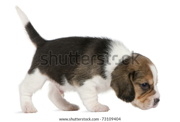 Beagle Puppy, 1 month old, walking in front of white background