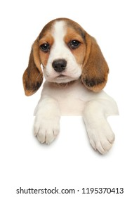 Beagle puppy above banner isolated on white background