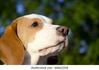 Beagle puppy against a bright background (selective focus on the puppy nose)