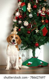 Beagle puppy Bicolor brown and white sitting in front of an entire Christmas tree decorated with a wooden floor