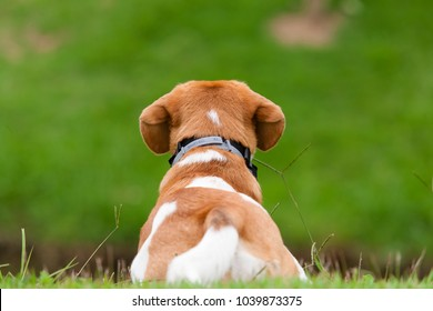 Beagle puppy bicolor sitting on his back on a lawn watching a green lawn in front of him