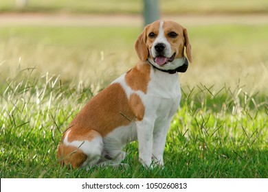 Beagle puppy Bicolor white and brown sitting on a lawn on a sunny day