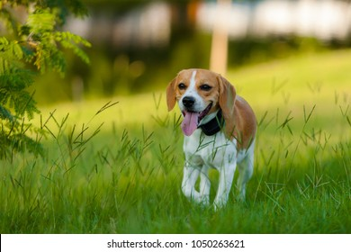 Beagle puppy Bicolor white and brown walking on a lawn Green tongue with out on sunny day