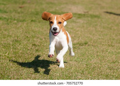 Beagle puppy bicolor white and caramel running on a lawn Green on a sunny day