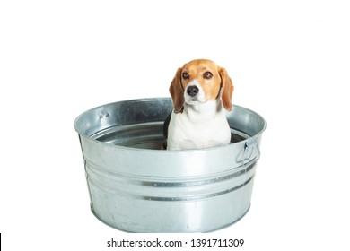 Beagle Puppy Dog Sitting in a bath tub waiting for a wash, white background.