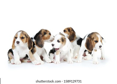 Beagle puppy dogs isolated on white background
